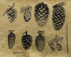 pinecones uploaded by Dina Lawrence on Printables. No other source listed. Illustration Botanique, Illustration Art, Illustrations, Botanical Drawings, Botanical Prints, Merian, Nature Journal, Natural Forms, Pine Cones