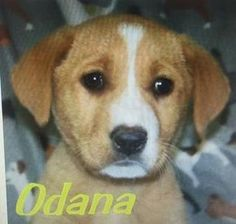 Check out Odana's profile on AllPaws.com and help her get adopted! Odana is an adorable Dog that needs a new home. https://www.allpaws.com/adopt-a-dog/labrador-retriever-mix-shepherd/4081914?social_ref=pinterest