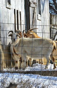 Goats At The Barn