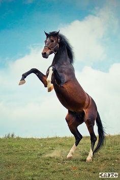 Trakehner Stallion Broadway