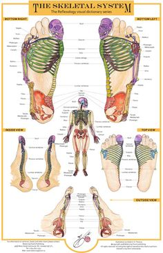 The skeletal system Massage Tips, Massage Techniques, Foot Massage, Massage Therapy, Acupuncture, Reflexology Massage, Lymph Massage, Acupressure Points, Physical Therapy
