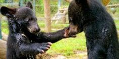 Seek to Implement & Enforce Stricter Laws Against Moon Bear Poaching & Trafficking