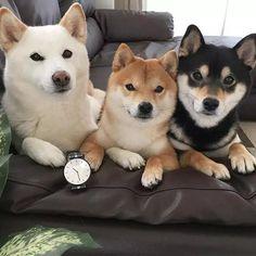 養柴犬的10個理由,90%人看完都心動了!