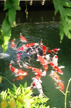 Koi carp the most expensive koi fish ever sold most for Expensive koi carp