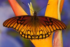 Tropical Butterfly, Dione moneta, on Heliconia plant photographed by:  Darrell Gulin