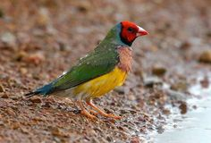 Gouldian Finch lives at the top end of Australia
