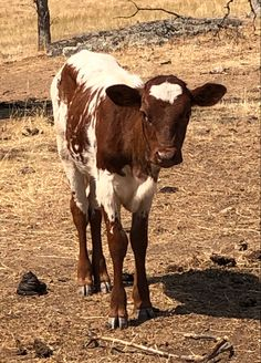 What a doll this little mini longhorn is! Mini Cows, Texas Longhorns, Cattle, Bones, Miniatures, Doll, Gado Gado, Puppet, Dolls