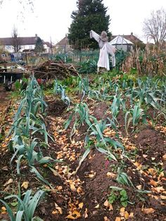 Autumnal leek bed, with bonfire ready for burning. Beg December 2013