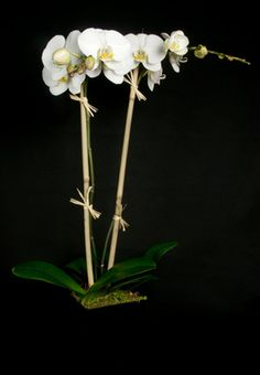 This is a white phalaenopsis orchid plant.  See our entire selection at www.starflor.com.  To purchase any of our floral selections, as gifts or décor, please call us at 800.520.8999 or visit our e-commerce portal at www.Starbrightnyc.com. This composition of flowers is generally available for same day delivery in New York City (NYC). OP038