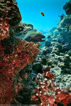 Moray Eel in Coral Reef