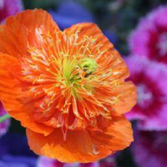 Poppy by Karen