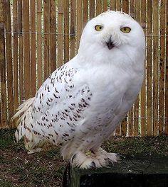 List of birds of Minnesota - Wikipedia, the free encyclopedia