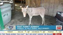 Zonkey Born in Italy.. Click to see video