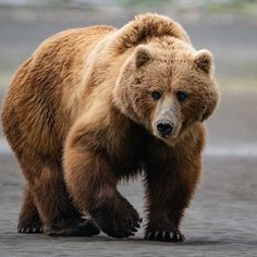 Pebble Mine, Kodiak Alaska, Silent Book, North American Animals, Homer Alaska, Bass Fishing Shirts, Brown Bear, Wildlife Photography, Drawing Reference