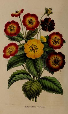 Belgique horticole. By Morren, Charles, 1807-1858  Morren, Edouard, 1833-1886 / Not in Copyright  (aka public domain) - http://www.biodiversitylibrary.org/item/137336#page/144/mode/1up