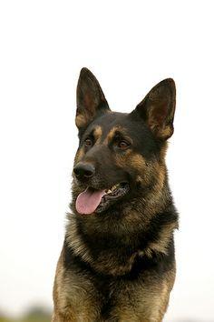 Deutscher Schaeferhund   Einzigartige Photos unseren Freunden! Hier noch ein Tip: http://besteversicherungenonline.de/hundever
