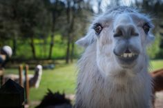 """Love your Llama"" #dailyphoto"