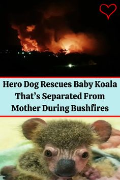 #Hero #Dog #Rescues #Baby #Koala #Separated #Mother #Bushfires Night Outfits, Summer Outfits, Angelina Jolie Style, Belly Tattoos, Red Tattoos, Baby Koala, Eye Makeup, Drugstore Makeup, Morning Inspirational Quotes