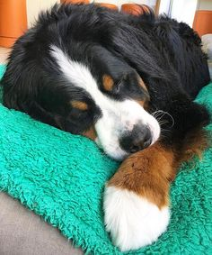 Bernese Mountain Dog - look at the gigantic paw!