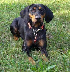 austrian black and tan hound | El Austrian Black and Tan Hound es muy emotivo. Percibe el estado de ...