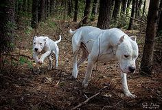 Dogo Argentino Breeders, Goats, Sd, Animals, Animales, Animaux, Animais, Goat, Animal