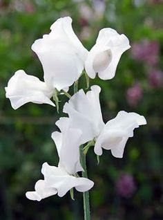 Spring White Sweet Pea Flower