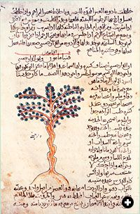 An illustration and description of a Cinnamomum tree in a 10th-century Arabic manuscript of Dioscorides' De Materia Medica. Dioscorides wrote that cinnamon was useful in combating a number of illnesses, from coughs to kidney diseases.