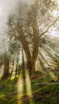 Olivenbaum im Rauch