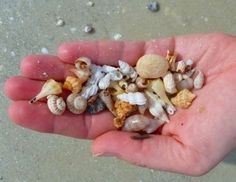 Collecting sea shells at Sanibel Island.  Most likely from Lghthouse beach were the small shells are found.