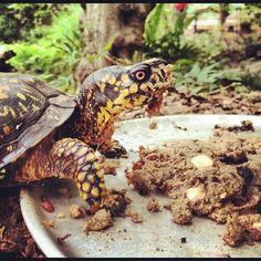 Turtle times. (:  (Taken with Instagram) Eastern Box Turtle!