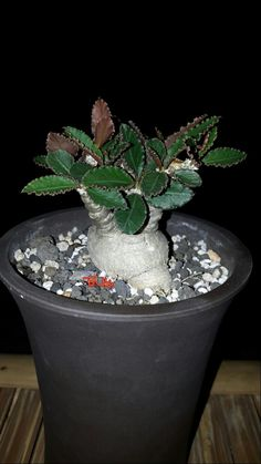 Euphorbia Suzannaemarnieriae
