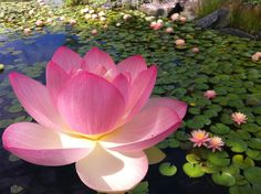 Asiatic lotus (Nelumbo nucifera).
