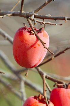 Victor A. Crowley explains how to tell if persimmons are ripe, the best time to pick persimmons, and ways to preserve this unique fruit. Originally published as