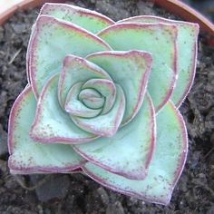Crassula, Biologist, Succulents, Etsy Seller, Etsy Shop, Garden, Plants, Instagram, Garten