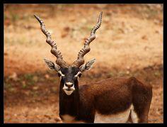 black buck by { pranav }, via Flickr