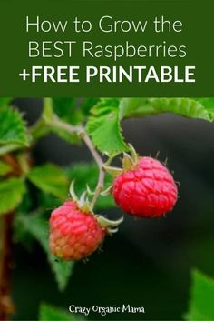 Tips on how to grow delicious raspberries in your garden this summer. Easy to care for plants are a great first fruit crop for beginning gardeners. FREE printable too! Raspberry Plants, Organic Insecticide, Growing Raspberries, Kitchen Herbs, Kitchen Art, Backyard Vegetable Gardens, Different Vegetables, Grow Organic, Organic Gardening Tips
