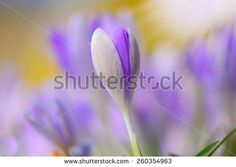 shallow focus Blooming violet crocuses in springtime