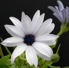 """Dimorphotheca """"Silverhills White"""" - White African Daisies - Indigenous South African Annual - 65 Seeds"""