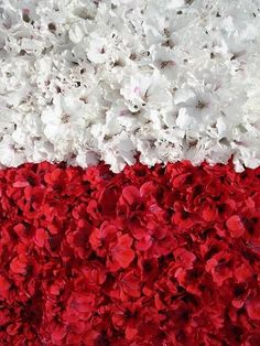 Polish flag (Pelargoniums) by Dorocia, via Flickr