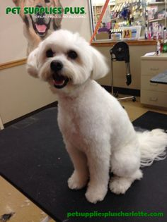 Kaytee had a fantastic time making Max look handsome! Pet Supplies Plus, How To Look Handsome, Dog Grooming, Maltese, Charlotte, Pets, How To Make, Animals, Pet Supplies
