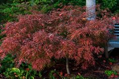 Acer palmatum 'Watnong'. New growth begins red that later turns pink, red with emerging green. Beautiful in that many colors – red,pink and green- can appear on the tree all at one time. In fall the leaves are scarlet.