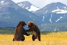 PHOTO OF THE DAY This is how two grizzly bears work out a disagreement