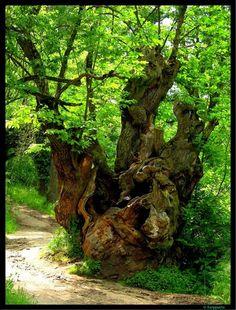 Árbol milenario - Camino de Santiago