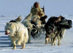 Canadian Eskimo / Iniut Dog how to stop my dog from itching Wolf Dog Mix, Wolf Dogs, Wolf Dog Breeds, Spitz Type Dogs, Malamute Husky, Alaskan Malamute, Northern Inuit Dog, Canadian Eskimo, American Indian Dog