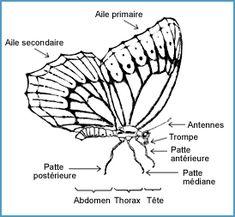 Trucs chasse aux papillons - Papillon-Butterfly.com