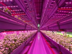 Cannabis is leading the LED revolution for indoor growers