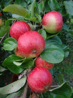 Cider Apples -  Broxwood Foxwhelp