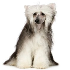 Chinese Crested Dog | Dogs and Puppies