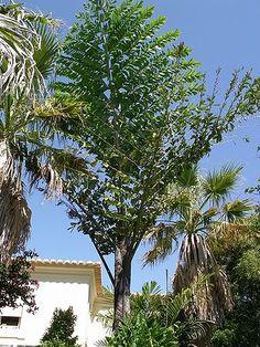 Caryota mitis - Palmpedia - Palm Grower's Guide