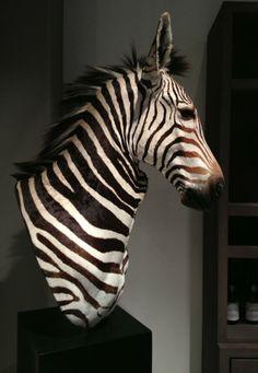 Stuffed zebra head. Zebra taxidermy. - 090 Taxidermy, Hunting trophies, antlers etc. - De Jong Interieur